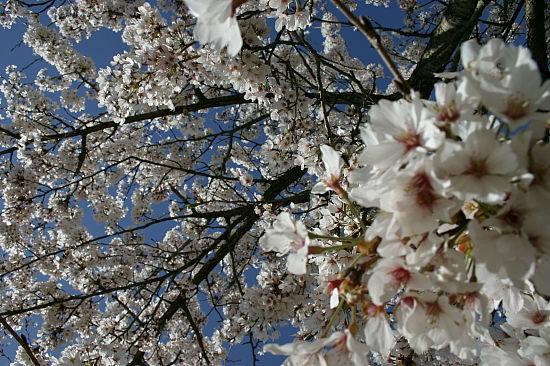 手前の桜のピンが甘い……やっぱパンフォーカスは難しいです。