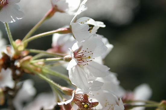 このへんのは途中の鬼岩公園のあたりの桜……のはず。