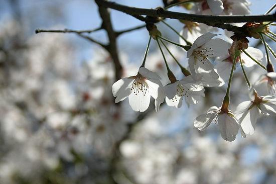 桜はやっぱいいもんですな。