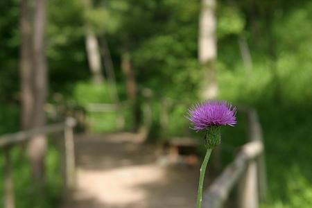 ハイキングコースに咲いてた野アザミ。写真撮らなくても、ふらふら歩いてるだけで気持ちいいとこです