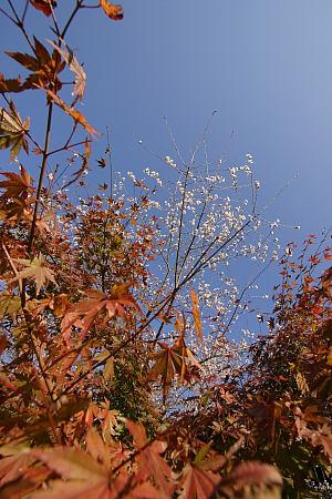 紅葉と桜。
