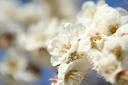 家の近くで咲いてた梅をアップで。