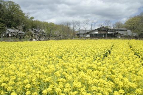 菜の花畑。
